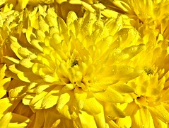 Yellow-chrysanthemum (Chris Sorge) Tags: flowers yellowchrysanthemum photosandcalendar flowersarebeautiful excellentsflowers mimamorflowers flickrflorescloseupmacros panoramafotografico magicmomentsinyourlife