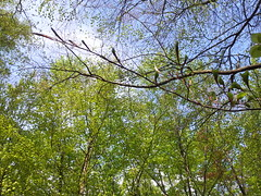 20130505_165839 (MelisaTG) Tags: cameraphone trees woods urbanwoods greenleafs