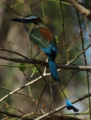 1100 (1) (RonW390) Tags: bird motmot longtailed colorfulbird