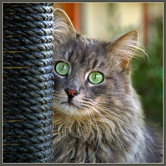 Portrait of Fynn (FocusPocus Photography) Tags: portrait cat feline chat kitty portrt gato katze kater fynn longhaired coth kittysuperstar bestofcats catmoments langhaarkatze fynnegan