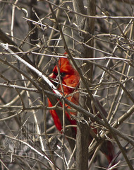 Cardinal in the Tree (klw2895) Tags: red tree bird nature robin canon edited powershot