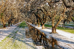 Orchard_4508-1 (jbillings13) Tags: california landscapes farming almond orchard orchards kerncounty almondorchard