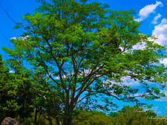 Leafy (Rachel_Ricci) Tags: blue trees sky plants cloud plant tree green nature grass leaves clouds leaf orlando florida dirt