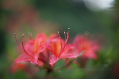 IMG_1526 (mikereidphotography) Tags: flowers abstract flower floral dof bokeh rhododendrons canonphotography zeiss50mmze
