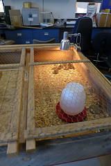 Pheasants in the Broodbox (slashvee) Tags: pheasant chick broodbox