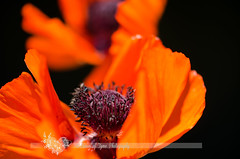 (Pieces Of Tyme Photography) Tags: flowers orange usa flower nature landscape outdoors unitedstates details indiana naturallight poppy flowering pollen magical minnetrista naturallighting sooc byheather piecesoftymephotography