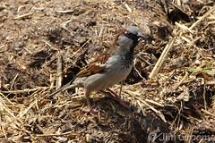 jgroom_wimpole_25may2013_48c (Jim Groom) Tags: cambridge bird insect sparrow wimpolehall 2013 jimgroom