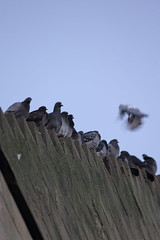 Room for one more. (northernkite) Tags: university angle pigeons watching aberdeen gable stepped