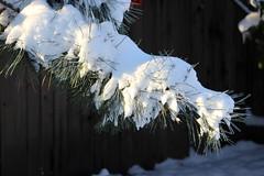 Snowy Beauty (dearing116) Tags: snow tree beauty pine highlights