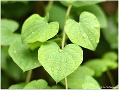 green hearts (mayflower31) Tags: green leaves drops heart grn blatt herz tropfen