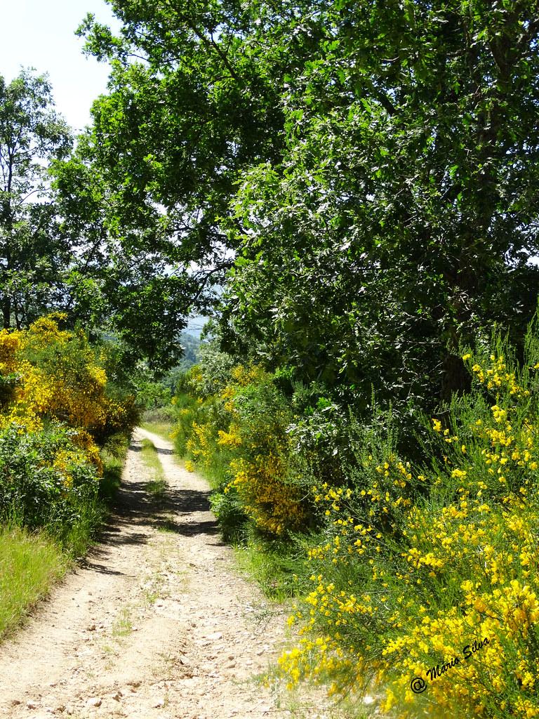 Águas Frias (Chaves) - ... caminho ladeado por giestas floridas ...
