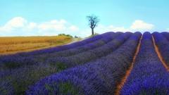 A purple river (Luc1659) Tags: lavanda estate viola fiume profumo purple river lavender provenza