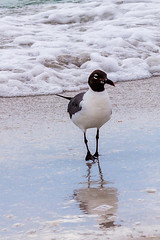 Laughing gull (Frowzy245) Tags: beach birds sand waves florida sarasota lidobeach