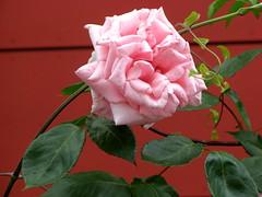 Du hast, o Herr, dein Volk geliebt (amras_de) Tags: rose rosen rua rosa rue rozo roos arrosa ruusut rs rzsa roe rozes rozen roser rza trandafir vrtnica rosslktet gl blte blume flor cvijet kvet blomst flower floro is lore kukka fleur blth virg blm fiore flos iedas zieds bloem blome kwiat floare ciuri flouer cvet blomma iek