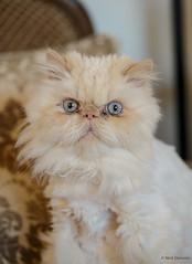 Yes, I hate to wash my face. (Nick Doronin) Tags: pet pets toronto canada home cat fun funny himalayan himalayancat