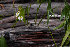 Life and Death (mbone1973) Tags: flower log driftwood drift wood rotted rotting decomposing decompose decay decaying water lake shore grand falls flowage maine baileyville grandfallsflowage woodland