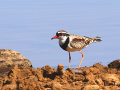 Black-fronted Dotterel (Elseyornis melanops) (Graham Winterflood) Tags: bird blackfronteddotterel elseyornismelanops