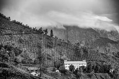 Diagonal Mountain (Padmanabhan Rangarajan) Tags: munnar mountains mist hills tea estate