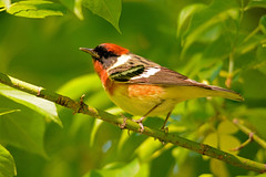 Bay-breasted Warbler (av8s) Tags: baybreastedwarbler warbler songbirds perchingbirds birds wildlife nature photography nikon d7100 sigma 120400mm mageemarsh ohio oh