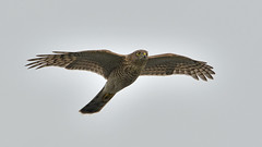 Sparrowhawk (Full Moon Images) Tags: kings dyke wildlife nature reserve bird prey birdofprey flight flying sparrowhawk
