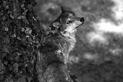 looking back (rondoudou87) Tags: wolf loup pentax k1 parc reynou zoo nature wildlife noiretblanc blackwhite noir blanc black white monochrome wild