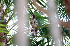IMG_7820.jpg (M Bee) Tags: animals barkingowl bird