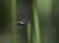 DSC_1020-2 (sueandgraeme) Tags: leightonmoss dragonfly