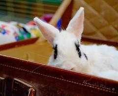 Questo bel coniglio  pronto per partire (AlexBlues) Tags: coniglio bunny rabbit