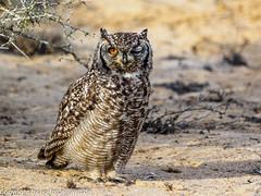 Spotted Eagle-Owl (xrxss15) Tags: africa animalia animals aves birds buboafricanus fleckenuhu namaquacoastnationalpark northerncape owls southafrica spottedeagleowl strigidae tiere vögel