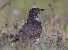 Cuco Comn | Common cuckoo (Cuculus canorus) (Daniel Meraviglia-C.) Tags: cuckoo cuco cucocomn common commoncuckoo comn aves cucos cuculiformes chordata avesdeespaa animales animalia animalessalvajes animals avesmigratorias birds migratorias migratorybirds migration fauna faunaibrica wildlife naturaleza nature naturephotography fotografadenaturaleza 60d canon60d canon canonsuperteles canon2xiii canon40028 2xiii 2x 40028lisusm 40028lis 800mm