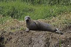 Relaxing On The Riverbank (me'nthedogs) Tags: seal commonseal ham river tone somerset levels