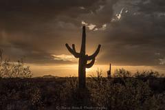 Arizona sunset _8109446 (steve bond Photog) Tags: arizona desert saguaro desertlandscape