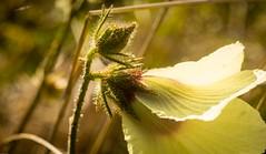 swamp hibiscus (dustaway) Tags: malvaceae hibiscus hibiscusdiversifolius swamphibiscus australianplants tuckeanswamp northernrivers nsw richmondvalley australianflora australianflowers flowers yellowflowers buds australia