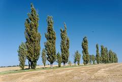 Pappelallee, Ebenheit, Knigstein (Veit Schagow) Tags: pappeln bume tree allee alley ebenheit knigstein lilienstein