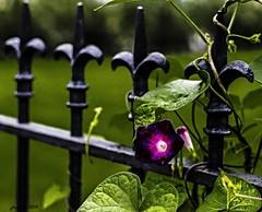 SINGULARITY OF FOCUS (panache2620) Tags: flower minimal single purple dof canon eos 18135mm polarizer stilllife nature beauty natural naturalbeauty street urbanphoto candid