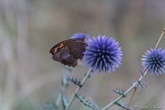 Papillon (Lionelcolomb) Tags: macro papillon butterfly wildlife animal insct chardon vegetal bokeh france life nature gard canon sigma