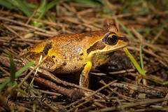 Verreaux's Tree Frog (Litoria verreauxi) - male (peter soltys) Tags: petersoltys herping frogging adventure photobycy macro photo photography evolution nature wild wildlife canon frog amphibia amphibiant verreauxstreefrog litoriaverreauxi male litoria