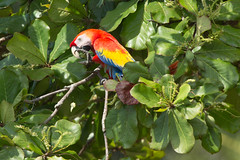 20160130-5C4A0595 (Take-it-easy59) Tags: 2016 30012016 ara aramacao corcovado corcovadoparquenacional costarica geelvleugelara npcorcovado scarletmacaw nature naturephotography tropicalrainforest tropischregenwoud winter