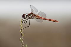 Red Veined Darter (Male) (Moonrhino) Tags: alikessaltflats greece kos kosisland redveineddarter sympetrumfonscolombii tigaki tigakisaltlake darter dragonfly