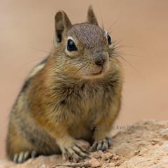 J77A8764 -- A Squirrel in Bryce Canyon, Utah, USA (Nils Axel Braathen) Tags: brycecanyon nature usa utah squirrel ngc