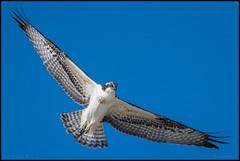 Juv. Osprey @ Cape May NJ (Nikographer [Jon]) Tags: osprey newjersey nj 2016 sep september 20160925d500032065 nature wildlife fullspread blue sky bluesky wings fall birdmigration raptormigration