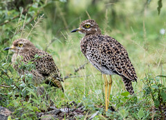 Spotted Thick Knee (dunderdan77) Tags: southafrica krugerpark wildlife