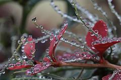 Pearls of Autmn (crowfoto) Tags: water pearl re green wow aesome leaf blatt pflanze plant wasser tropfen tbingen