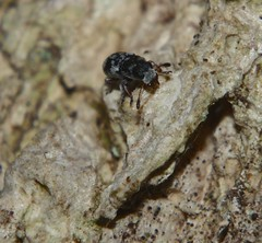 Silver and black Grizzled micro Fungus Weevil beetle Anthribidae , less than 2mm long, Airlie Beach rainforest P1110388 (Steve & Alison1) Tags: silver black grizzled micro beetle less than 2mm long airlie beach rainforest fungus weevil anthribidae