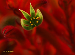 Fire Tentacles - Kula, Maui (Barra1man) Tags: kangaroopaws red faming flamingred tropical tropicalflower nature firetentacles fire tentacles garden agriculturalresearchstation upcountry kula maui hawaii unitedstates olympus olympusem1 lens300mm iso640 f561800