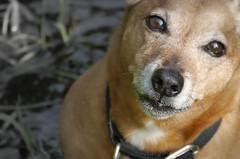 38/52 wet nose (Explored..wahooooo!) (jump for joy2010) Tags: uk england somerset dogs terrier jackrusselldachshund jachshund small brown chum charlie wet 52weeksfordogs week38 explored