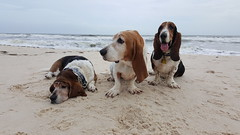 ramping trio (patchattack) Tags: bassethound basset dog hound butters phoebe brinkley