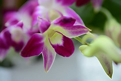 Magenta Magic (Ptolemy the Cat) Tags: flower beauty magenta floral nature blur nikond600 tamronf2890mmmacrolens orchid bloom