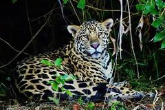 Male Jaguar Resting In The Shade (Susan Roehl) Tags: braziltrip2016 thepantanal cuiabariver brazil southamerica jaguar pantheraonca male shoreline animal mammal bigcat shadyspot sueroehl naturalexposures photographictours panasonic lumixdmcgh4 100400mmlens handheld boat middleofriver ngc specanimal