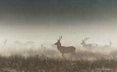 Deer in morning dew (Martin Parizek) Tags: deer richmondpark mist morning